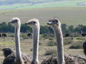 ostrichs